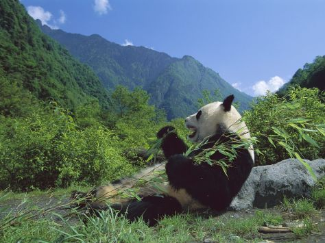 panda de Chine