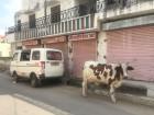Jaipur - vache devant l'hotel