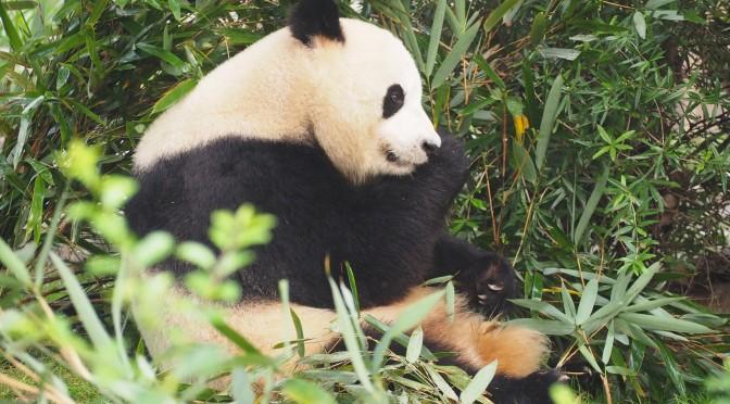 Sacado chez les pandas