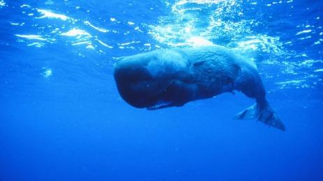 Cachalot contre calamar géant