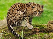Ocelot-Animal-Pic