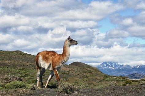 Guanakos-die-Kamele-von-Suedamerika